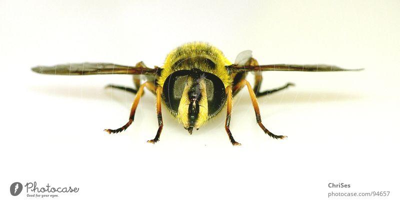 Grosse Schwebfliege 04 Wespen Schweben gelb schwarz Insekt Finger Makroaufnahme Tier Sommer Auge Flügel Gliederfüßer Zweiflügler Biene Angriff frontal Angst