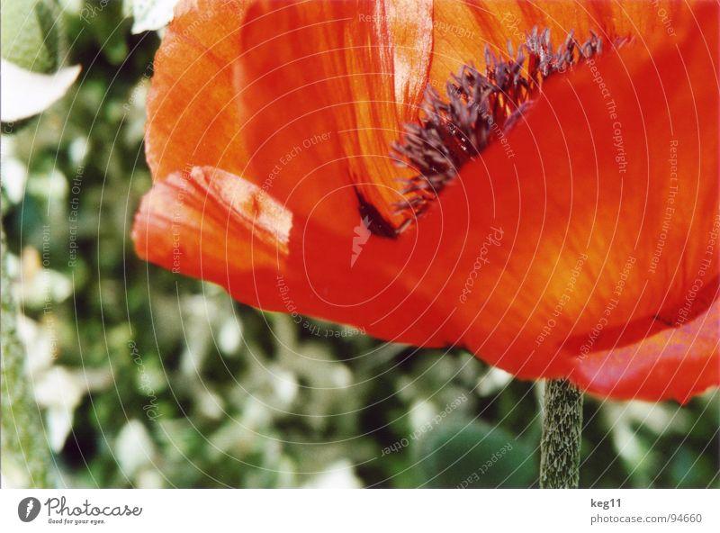 Mohn im Grünen Natur schön Blume grün Pflanze rot Sommer Freude schwarz Erholung Wiese Gras Garten nah Freizeit & Hobby Stengel