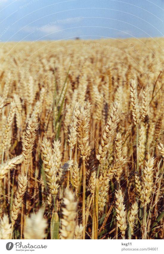 Weizenfänger Roggen Blume grün Gras Freizeit & Hobby beige braun nah Sommer Wiese Feld Halm Ähren weiß Mehl Korn ruhig Getreide Garten Pflanze Natur Erholung