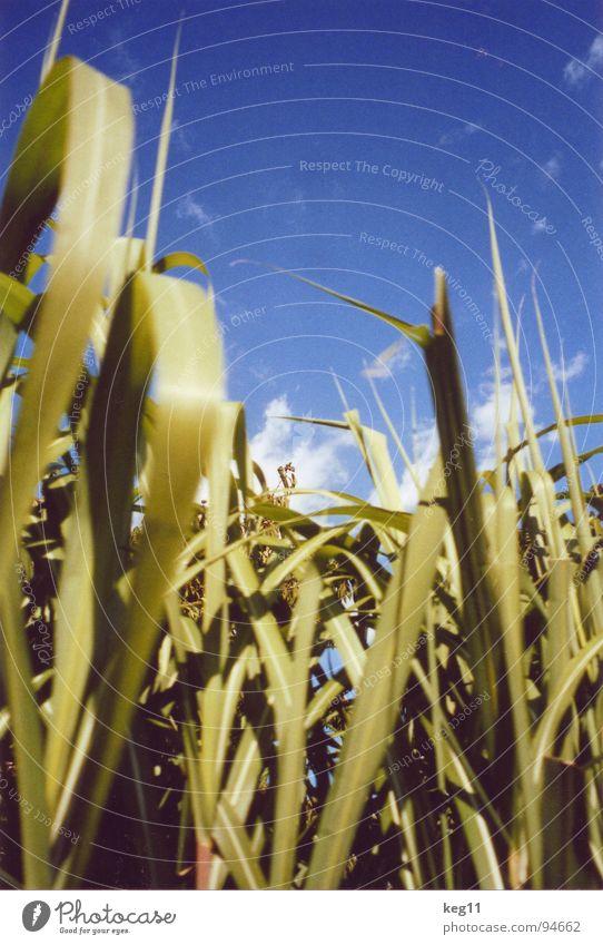 Gras im Blauen Natur schön Himmel Blume grün blau Pflanze Sommer Freude ruhig Wolken Tier Erholung Wiese Blüte