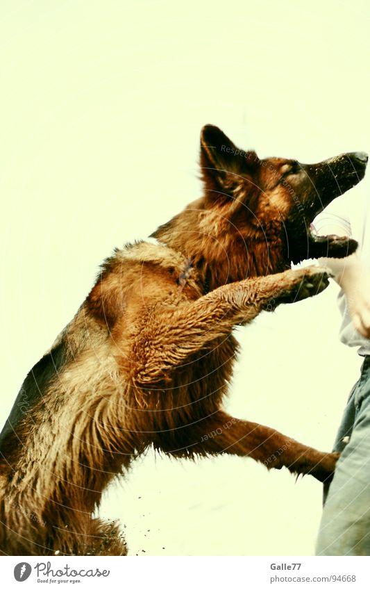 Spieltrieb Freude springen Spielen Hund gefährlich fangen Dynamik steigen beißen Maul Tier Angriff attackieren Deutscher Schäferhund