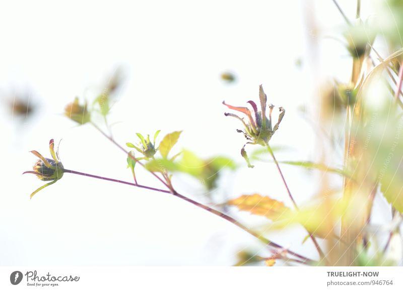 Auflösung... Natur Pflanze Sommer Nebel Blume Blatt Blüte Wildpflanze Seeufer Flussufer Havelsee Wasser alt leuchten Blick träumen verblüht dehydrieren hell