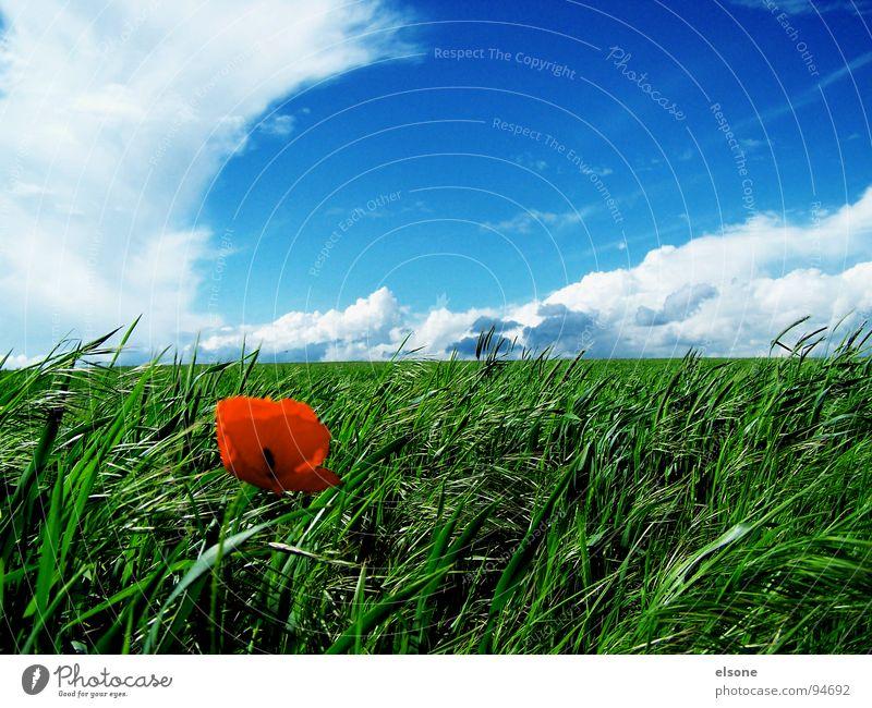 FELD Natur schön Himmel grün blau rot Wolken Ernährung Farbe Blüte Frühling Feld Dresden Getreide Mohn Futter
