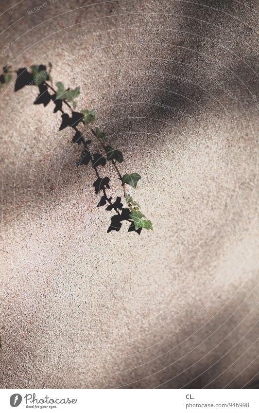 efeu Umwelt Natur Schönes Wetter Pflanze Blatt Grünpflanze Efeu Mauer Wand Wachstum Farbfoto Außenaufnahme Menschenleer Textfreiraum rechts Textfreiraum unten