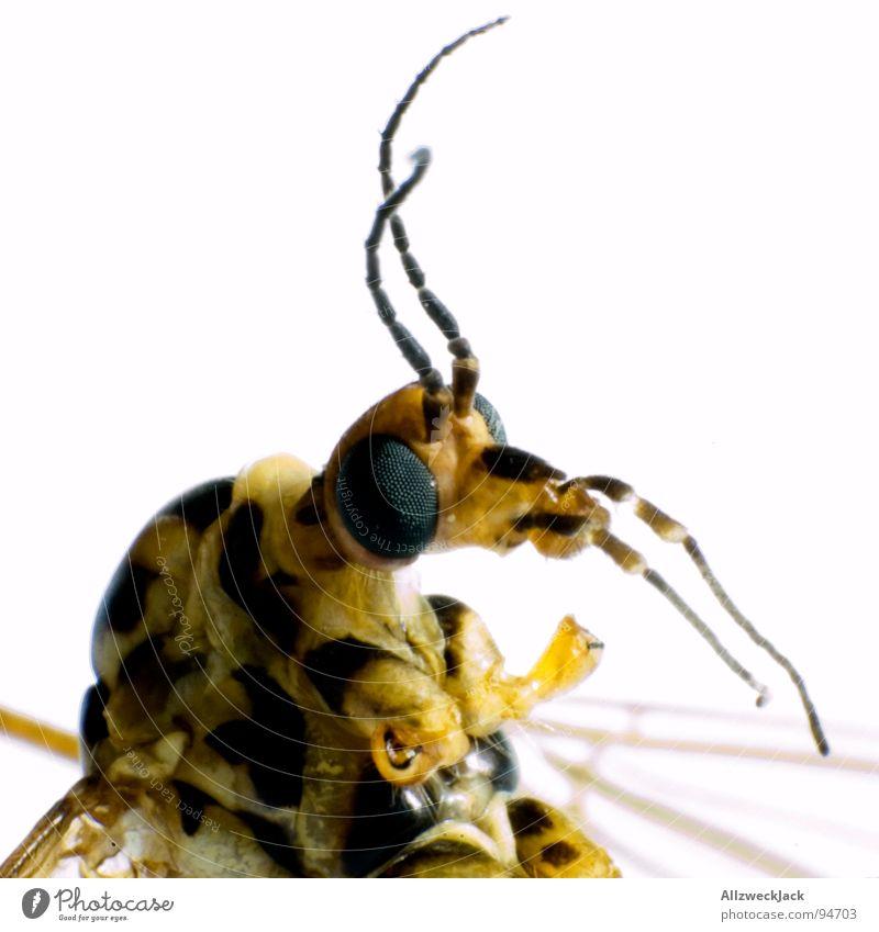 Der goldene Schuss Stechmücke Makroaufnahme Rüssel stechen Insekt saugen Schmarotzer Facettenauge scheckig Antenne Fühler Freisteller weiß Rausch Fixer