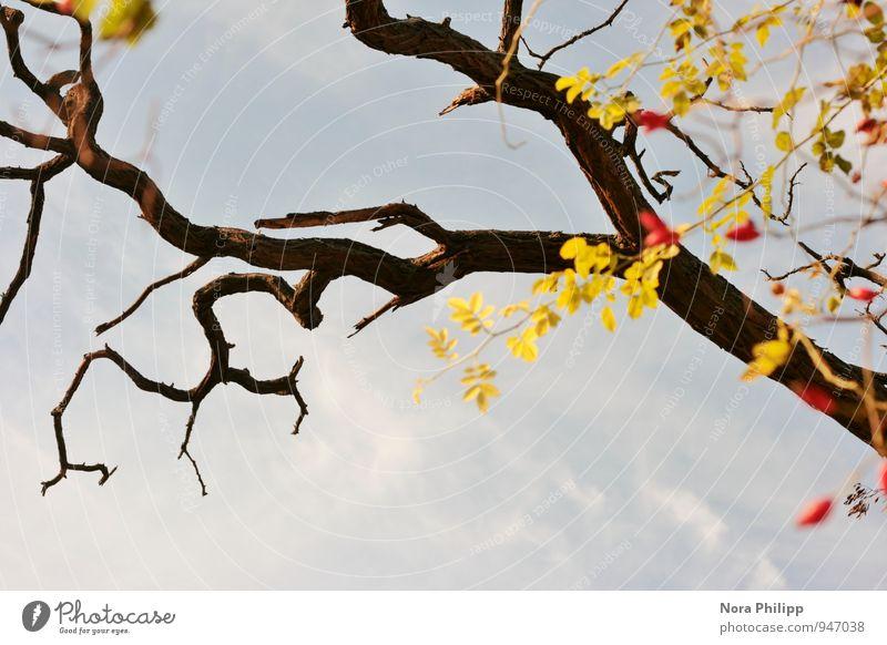 all those beautiful rosehips Natur Himmel Herbst Schönes Wetter Pflanze Baum Sträucher Grünpflanze Ast Zweige u. Äste Hagebutten Blatt eckig blau rot kahl