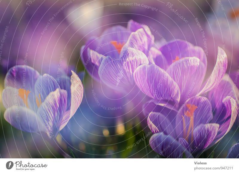 last year same time Natur Pflanze Frühling Blüte Blühend frisch schön violett Fröhlichkeit Lebensfreude Frühlingsgefühle Beginn Krokusse Blütenstempel