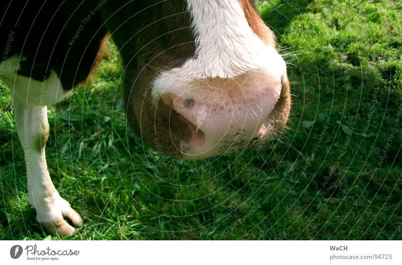 Auf der Weide Kuh Kalb Schnauze Wiese Fressen ländlich Landleben Milchkuh scheckig Kuhfleck melken Hirte Schuhe Krallen Zehen Paarhufer Gras Säugetier Maul cow