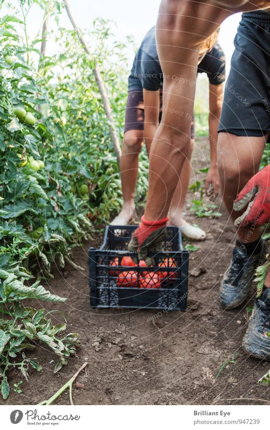 Erntehelfer ziehen Erntebox nach sich Gemüse Frucht Arbeit & Erwerbstätigkeit Gartenarbeit Landwirtschaft Forstwirtschaft Mensch maskulin Junger Mann