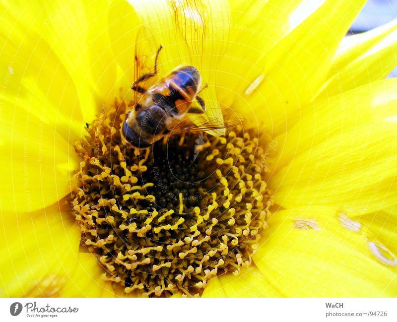 Und diese Biene, die ich meine, die heißt ... Blume gelb bestäuben Pollen Maya Blümchensex Sommer bee flower sonnengelb Beleuchtung Bienchen Bienenflug