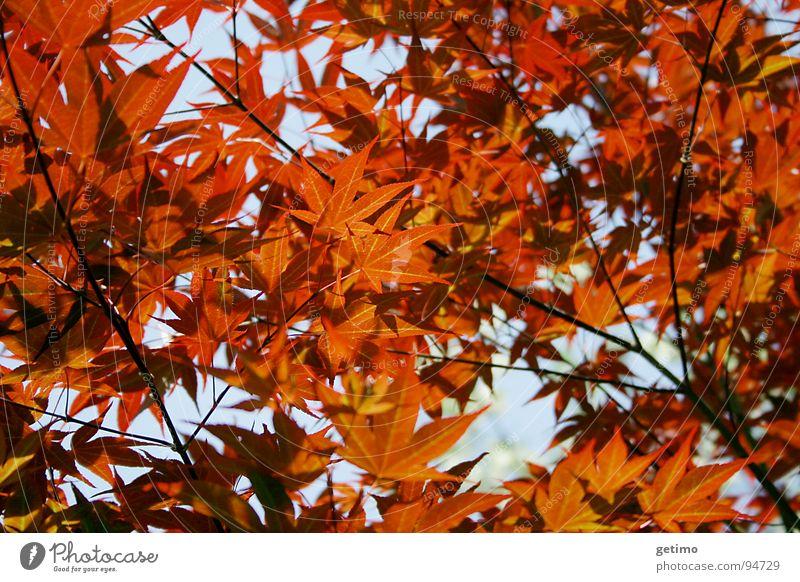 Flammenmeer Natur Baum rot Blatt Lampe dunkel Herbst Frühling Garten Freiheit Wärme klein Hoffnung Trauer Physik Japan