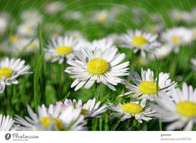 frisch, frischer, Frühling Gänseblümchen mehrere gelb grün weiß Wiese Blume Hoffnung schön viele Deutschland Natur Makroaufnahme