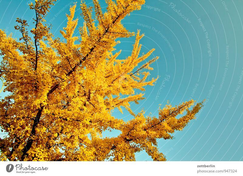 gingko biloba novembris Garten Herbst Herbstfärbung Herbstlaub Schrebergarten Kleingartenkolonie Baum Ginkgo Ast Zweig verzweigt Himmel Wolkenloser Himmel Sonne