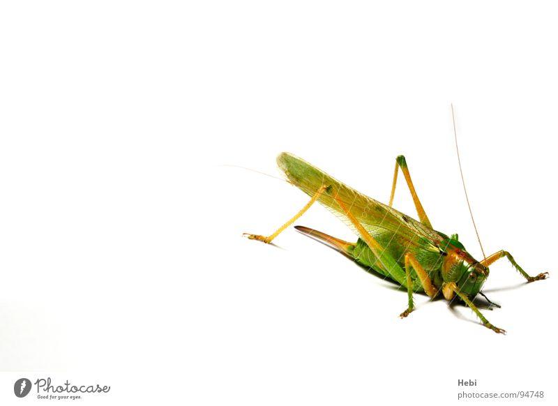 Jump Heimchen Insekt grün Tier Ekel Monster Makroaufnahme Nahaufnahme Sommer Heugümper Heuschrecke Grasshopper Whiteground unerwünschter Besucher edel