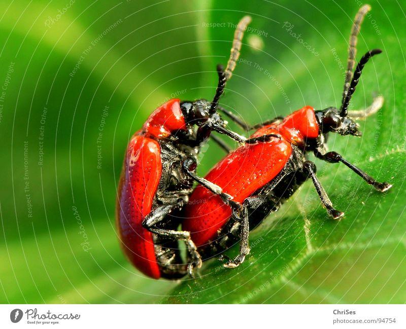 Lilienhähnchen_Lilioceris lilii_Vergnügen zu Zweit grün rot Tier schwarz Frühling Tierpaar Verkehr paarweise Insekt Lust Käfer Lilien Voyeurismus Chili Fortpflanzung Brunft