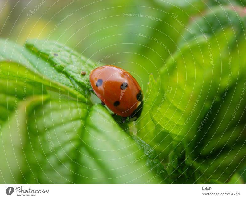 Blattlaussucher rot schwarz grün Marienkäfer Blattläuse Frühling Makroaufnahme Nahaufnahme Punkt Käfer