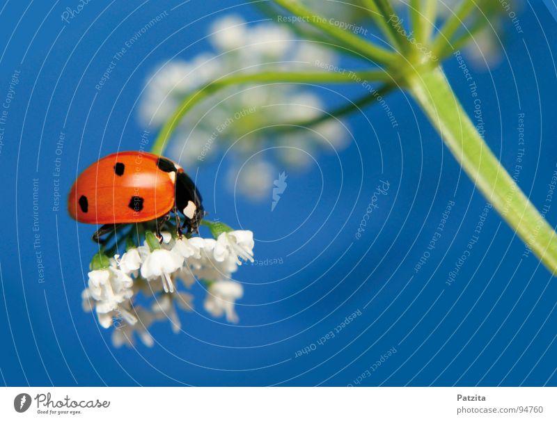 Und er ist doch echt -ätsch Marienkäfer Insekt rot Sommer Frühling Blume weiß Wiese Gras Halm Makroaufnahme Nahaufnahme Käfer Himmel blau