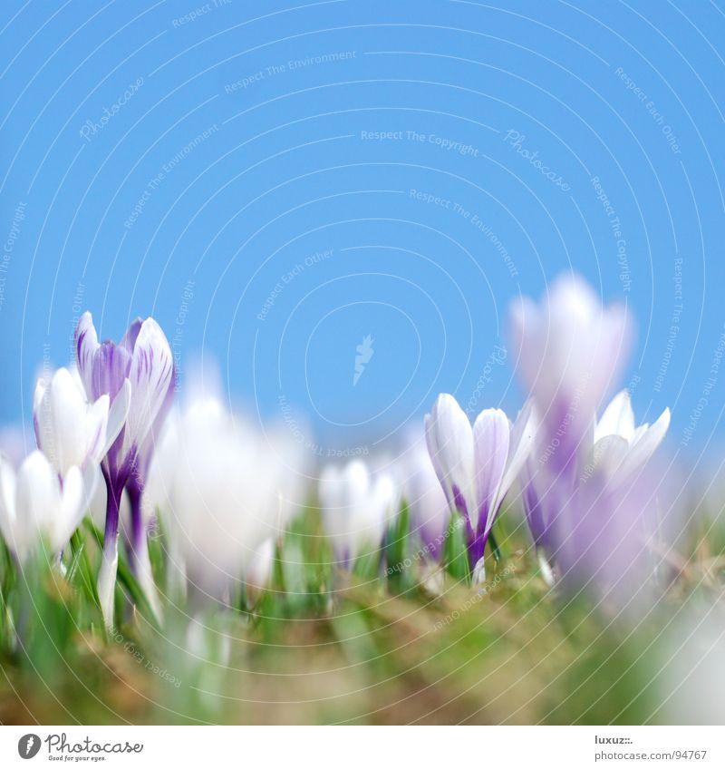 Knospenspringen Blume Wiese springen Blüte Frühling frisch Weide Motivation Alm aufwachen Krokusse Versammlung Bergwiese
