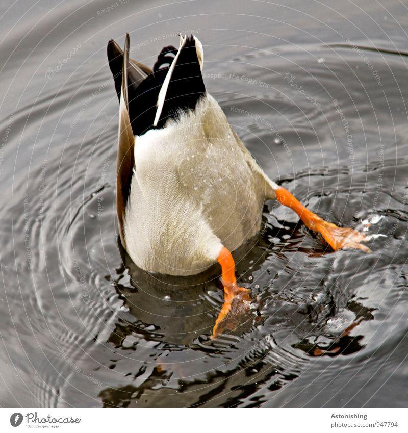 ...Schwänzchen in die Höh'. Körper Beine Natur Wasser Wassertropfen Teich Tier Wildtier Flügel Ente 1 Schwimmen & Baden tauchen orange schwarz weiß Metallfeder