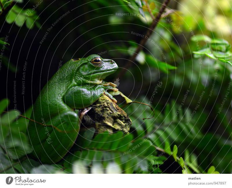Sitzenbleiber Natur Pflanze Tier Moos Farn Menschenleer Frosch Tiergesicht 1 sitzen warten braun grün aufstützen Gelassenheit Farbfoto Tag Froschperspektive