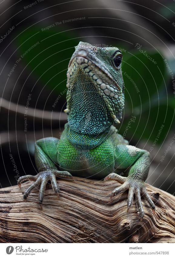 schöne Hände blau grün Tier Holz braun Tiergesicht selbstbewußt Pfote Krallen Schuppen Echsen aufstützen