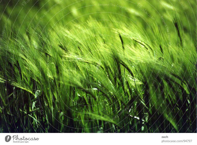 wogendes Weizenfeld Hafer Gerste Roggen Wellen taumeln grün Bewegung Luft Windzug Windböe Ähren Korn Futter Ernährung Gewöhnliche Schafgarbe Halm Stengel