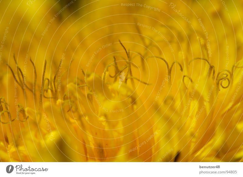 Löwenzahn-Makro 3 Blume Sommer gelb Wiese Blüte Hintergrundbild nah Stengel Biene Löwenzahn Blütenblatt