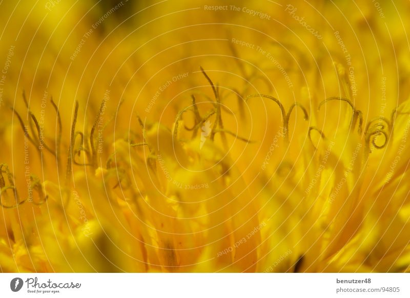 Löwenzahn-Makro 3 Blume Sommer gelb Wiese Blüte Hintergrundbild nah Stengel Biene Blütenblatt