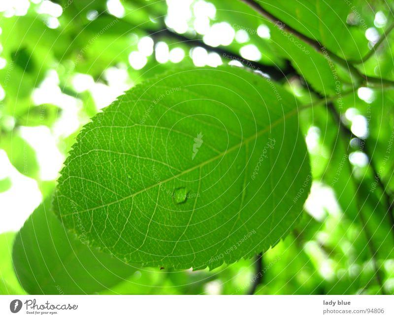 Natur pur grün Baum Sträucher hell Wald Umwelt Blattadern nass feucht Tau Regen weiß Sommer Garten Park Ast Sonne weiß und grün