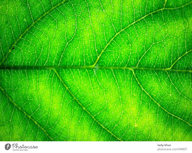 Blattadern Natur grün Sommer ruhig Garten Linie hell Kraft Umwelt frisch nah rein harmonisch fein