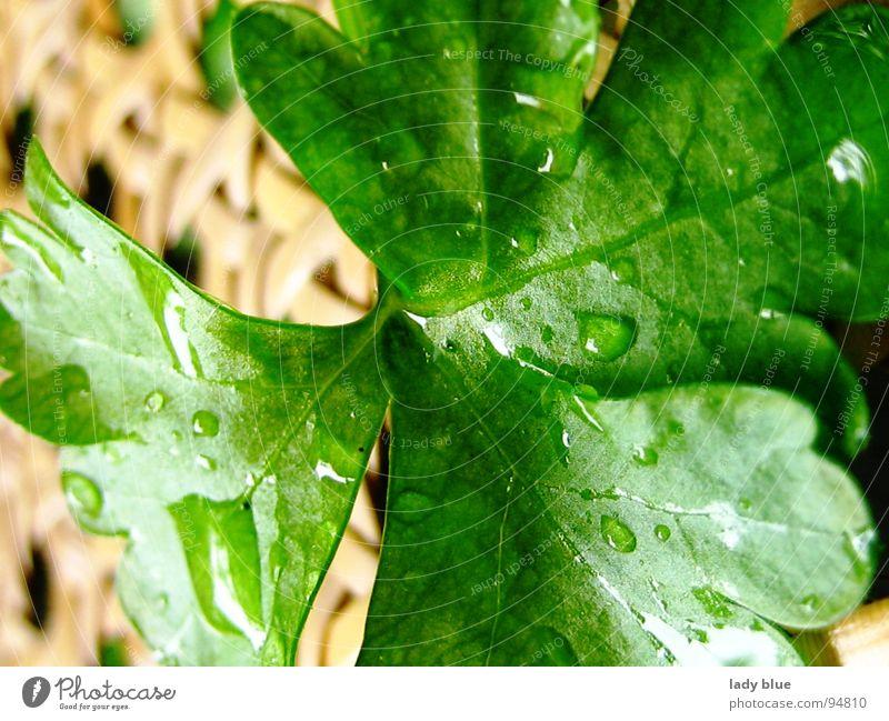 Petersilie grün Kräuter & Gewürze Heilpflanzen Gesunde Ernährung Regen nass feucht frisch nah braun hellbraun Vegetarische Ernährung Makroaufnahme Nahaufnahme
