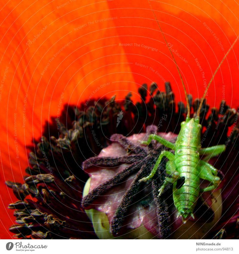 Flip ... hühüpf ... Mohn Mohnblüte Mohnblatt Blüte Blume Heimchen Fühler rot schwarz violett grün springen Insekt bestäuben Salto krabbeln Sommer Morgen