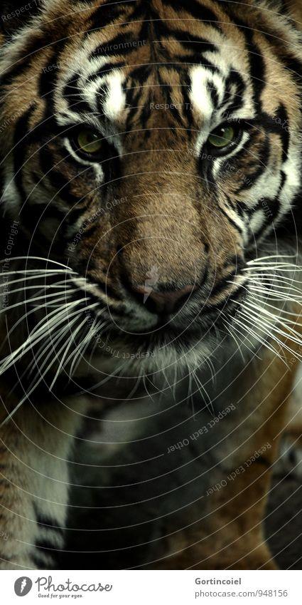 700 Streifen Tier Wildtier Tiergesicht Fell Zoo 1 exotisch stark wild gefährlich Tiger Sumatratiger gestreift Landraubtier Raubkatze Farbfoto Außenaufnahme