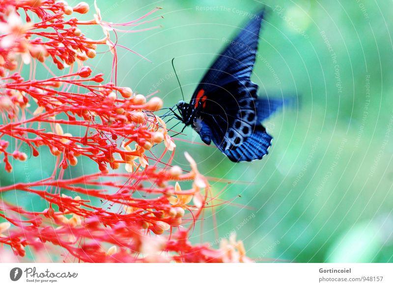 Bali Insect Natur Pflanze Tier Sommer Blume Blüte Urwald Schmetterling Flügel 1 frei schön blau grün rot schwarz Indonesien Insekt Edelfalter