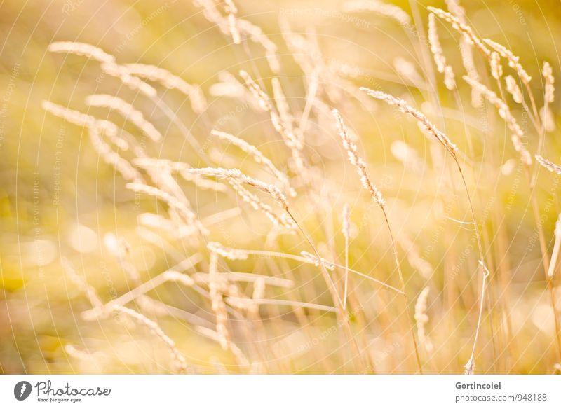 Sonnengras Natur Sommer Umwelt gelb Wärme Wiese Gras gold goldgelb Gräserblüte