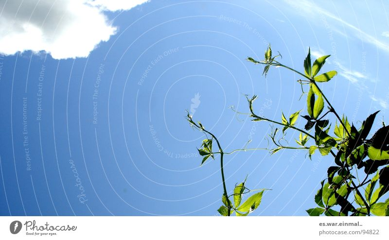 ganz nach oben. Himmel weiß Baum Sonne grün blau Pflanze Wolken Garten Park hoch Wachstum Sträucher aufwärts streben Reifezeit