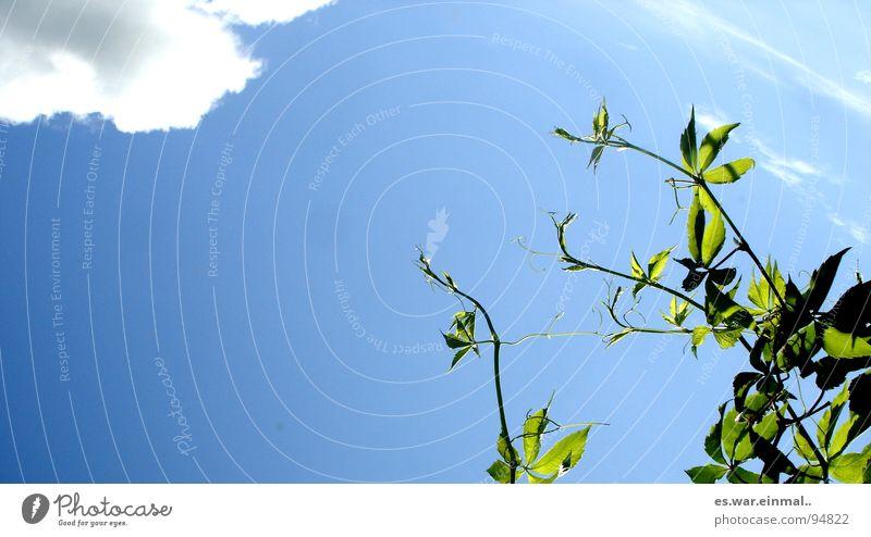 ganz nach oben. Wachstum Reifezeit Pflanze streben Wolken grün weiß Sträucher Baum Himmel Nährstoffe Garten Park hoch aufwärts blau sky sträuber Sonne high up