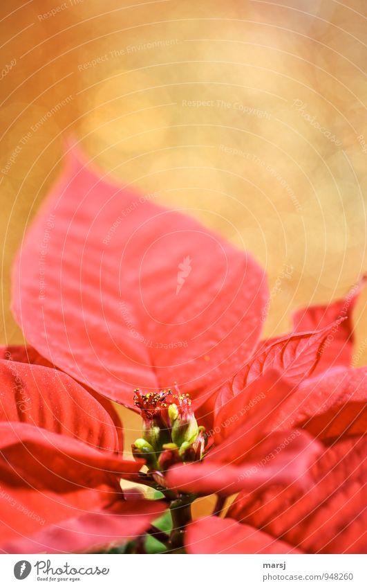 Weihnachtsstern Pflanze schön Farbe Weihnachten & Advent rot Blatt Winter Herbst Gefühle Blüte Stimmung glänzend gold leuchten verrückt Blühend
