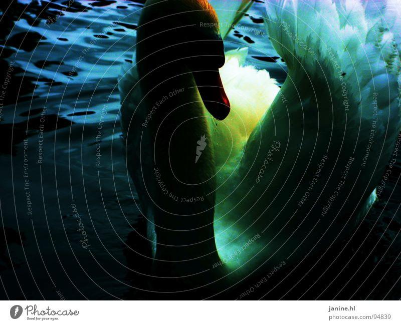 Blauer Schwan No1 Vogel mehrfarbig dunkel Schnabel weiß Tier Blick schön Entenvögel Höckerschwan angriffslustig Reifezeit Vollendung rein Wasser Wasservogel