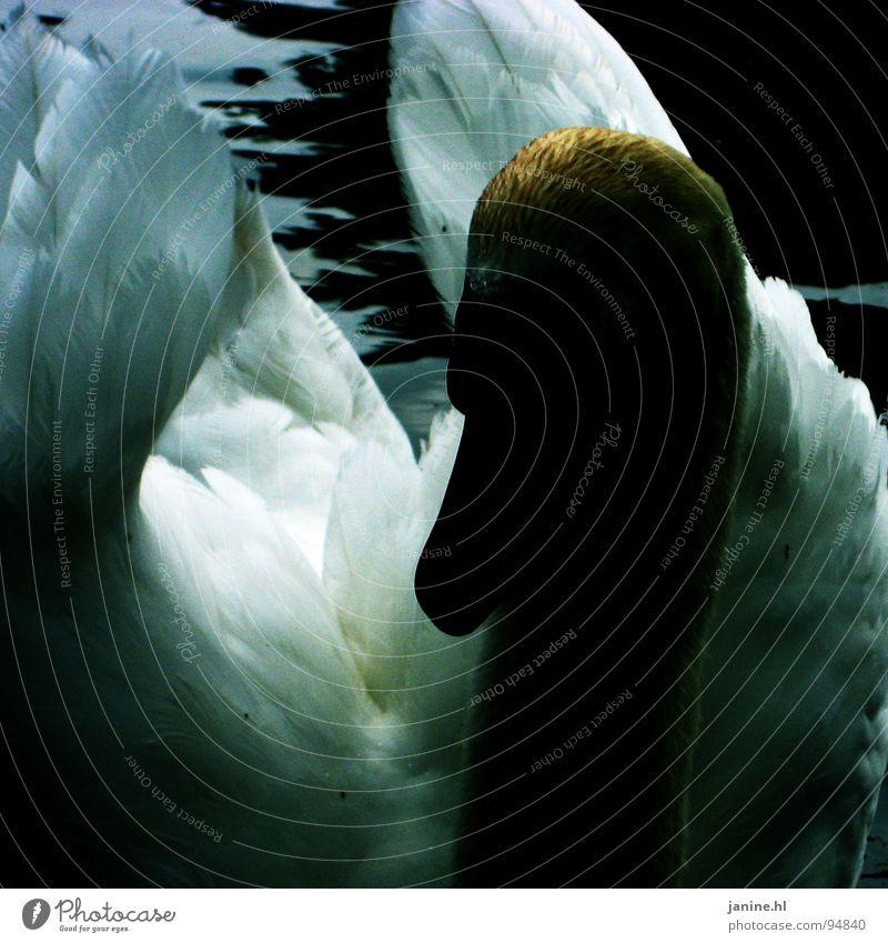Blauer Schwan No2 Wasser schön weiß blau Tier dunkel Vogel Feder Flügel rein Neugier Hals Ente Schnabel erhaben