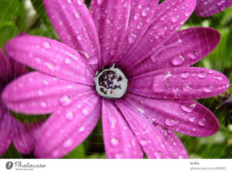 Berieselt Wasser Blume Blüte Regen Wassertropfen