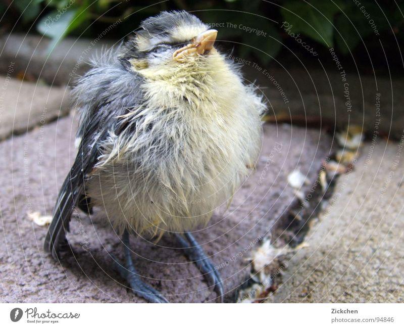 Piepmatz Natur Tier Garten grau Stein Vogel Feder Ei Schnabel Krallen Nest Küken Dachrinne Meisen Fink