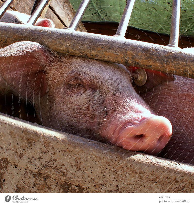 so 'ne Pause ist saugeil Natur Tier Erholung Glück rosa Freizeit & Hobby Nase Pause Landwirtschaft Bauernhof Duft Geruch Schwanz Tierzucht Schwein Stroh