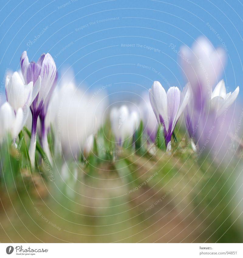 Knospenspringen II Blume Wiese springen Blüte Berge u. Gebirge Frühling frisch Weide Motivation Alm aufwachen Krokusse Versammlung Bergwiese