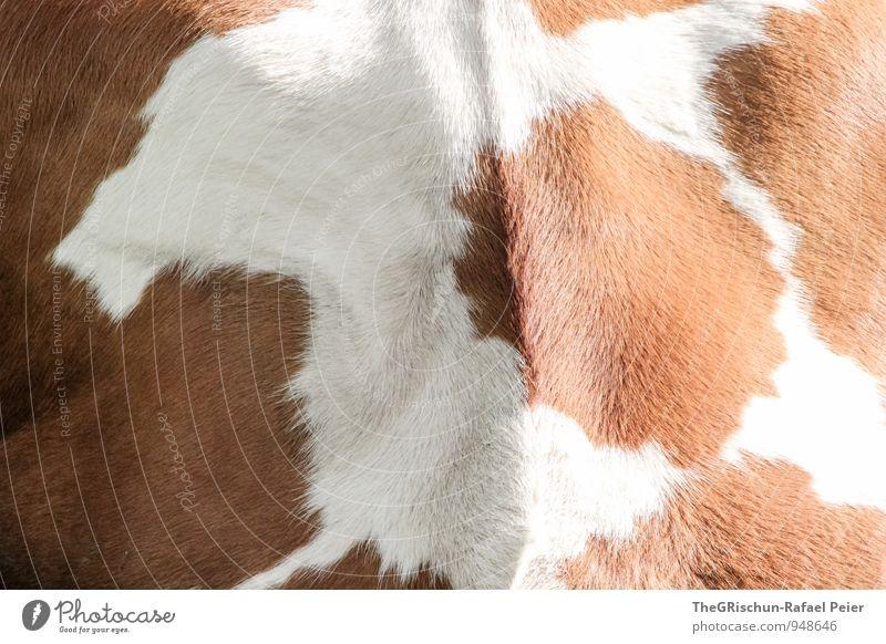 kuhl Tier Nutztier Kuh 1 braun schwarz weiß Fell Behaarung Muster Strukturen & Formen tierisch Verlauf Leben rund Fleck schönheitsfleck Farbfoto Außenaufnahme