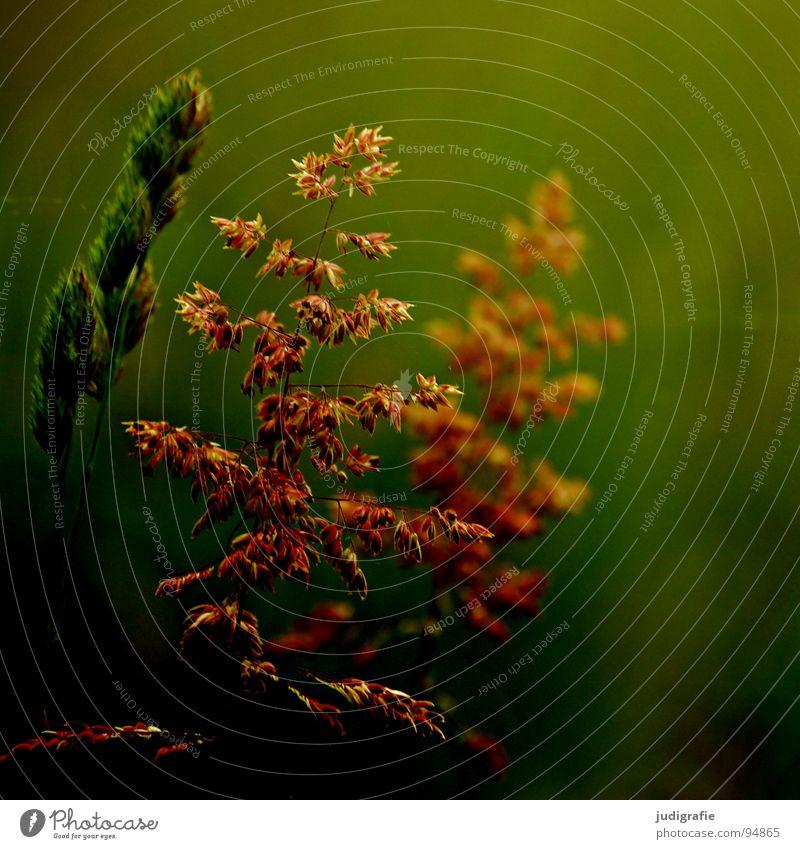 Gras grün schön Pflanze Sommer Farbe Wiese Gras glänzend weich zart Weide Stengel Halm sanft beweglich Pollen