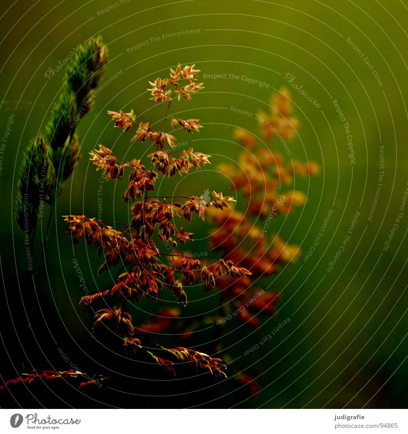 Gras grün Stengel Halm Ähren glänzend schön weich Rauschen Wiese zart beweglich sensibel federartig Pflanze Farbe Sommer Pollen rispe rispen flimmer Weide sanft