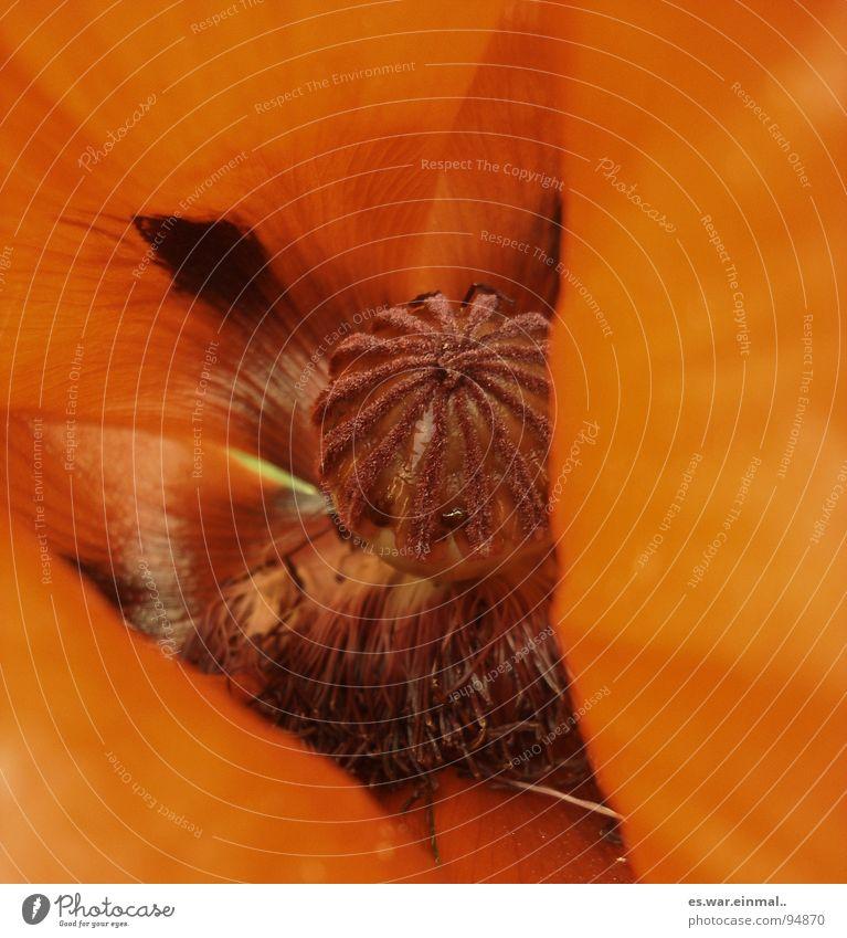 aus der sicht eines nasenlochs. schön Blume rot Sommer braun orange Kraft Duft Mohn Geruch Hippie bräunlich