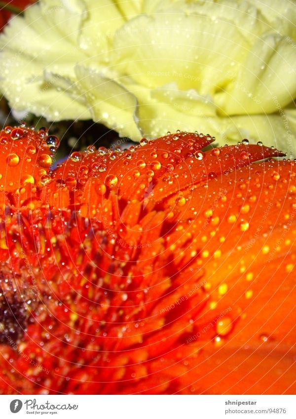 Blumen und so Blüte rot gelb Pastellton Makroaufnahme Nahaufnahme orange Wasser Tropfeh Tröpfchen Klarheit Detailaufnahme wasserfest Kugel