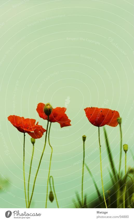 Mado-Mohn Himmel Blume grün blau rot Wiese Blüte Mohn Samen Mai Klatschmohn Kalkmagerwiese